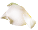 gardenia sozopol
